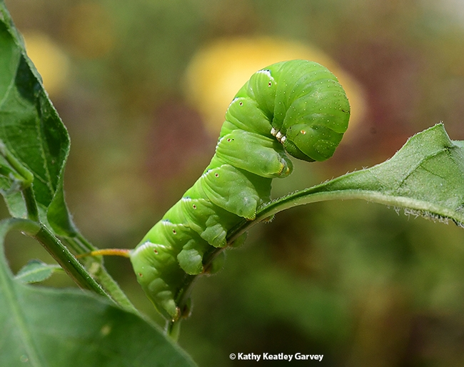 When the caterpillar or larva  is disturbed, it