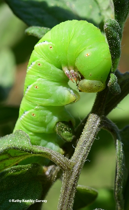 A tomato hornworm can do extensive damage to tomato and pepper plants. (Photo by Kathy Keatley Garvey)