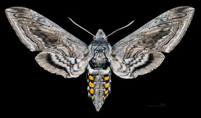 The tomato hornworm turns into a  sphinx moth or hummingbird moth (family Sphingidae). (Wikipedia Photo)