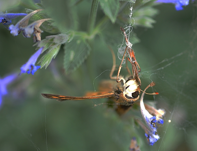 Head of fiery skipper shows the tangled sticky strands of a spider web. (Photo by Kathy Keatley Garvey)