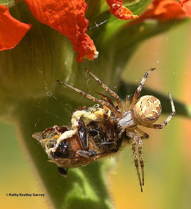 A spider executes Plan Bee. (Photo by Kathy Keatley Garvey)