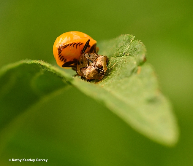 Welcome to the world! A lady beetle, aka ladybug, emerges from its pupal case. (Photo by Kathy Keatley Garvey)