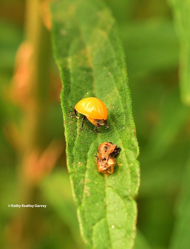 The lady beetle, aka ladybug, heads up the leaf, leaving its pupal case behind. (Photo by Kathy Keatley Garvey)