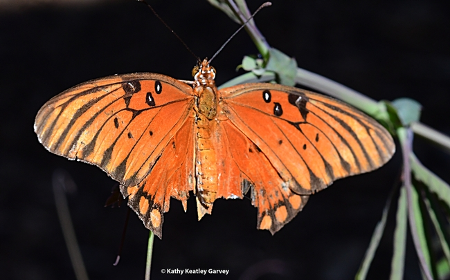 A Gulf Fritillary, Agraulis vanillae, manages to fly despite a huge chunk missing from her   wings. (Photo by Kathy Keatley Garvey)