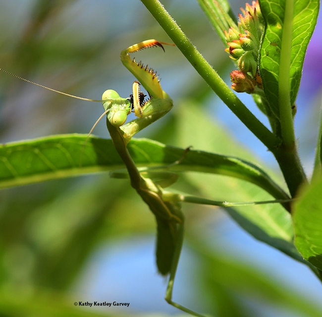 Walda, the praying mantis, finishes her meal. (Photo by Kathy Keatley Garvey)