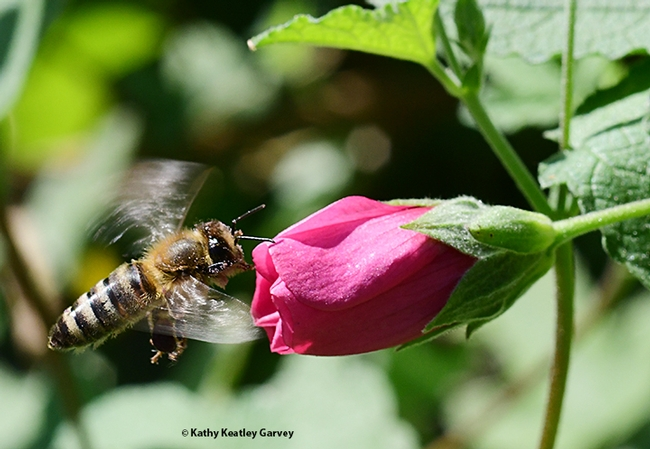 An energetic honey bee heads for a cape mallow (Anisodontea sp.