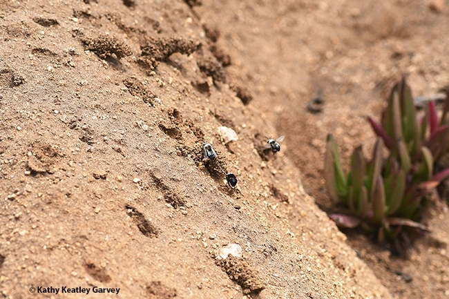 Digger bees, Anthophora bomboides stanfordiana, building their nests in the sand cliffs off Bodega Head. (Photo by Kathy Keatley Garvey)