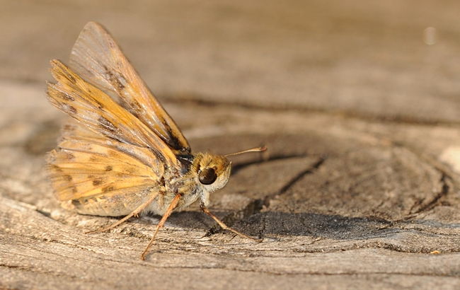 Released fiery skipper ready to flutter away. (Photo by Kathy Keatley Garvey)