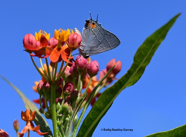 The gray hairstreak, Strymon melinus, finds a play her lay her eggs, on the buds of a tropical milkweed, Asclepias curassavica. (Photo by Kathy Keatley Garvey)