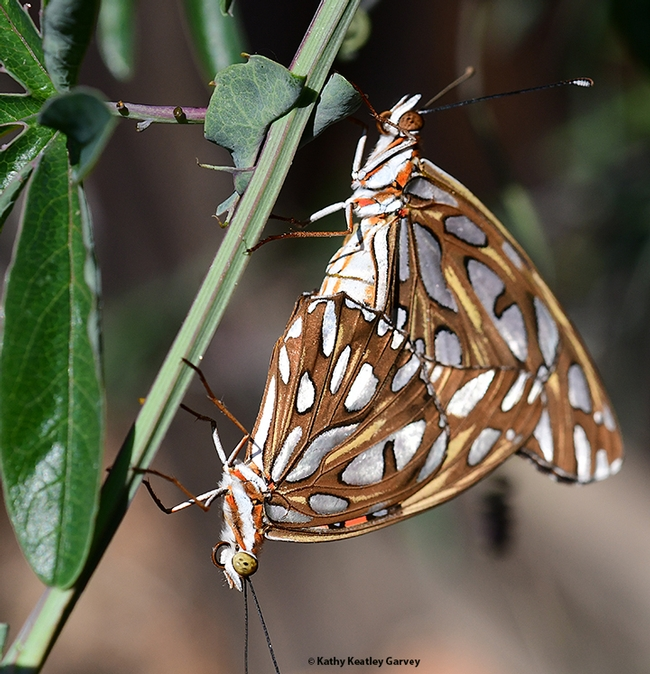 Insect wedding photography: Two Gulf Fritillaries, Agraulis vanillae, in a Vacaville, Calif. pollinator garden. (Photo by Kathy Keatley Garvey)
