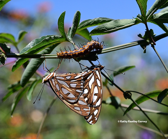 A caterpillar inches along the altar of the Gulf Fritillaries. (Photo by Kathy Keatley Garvey)