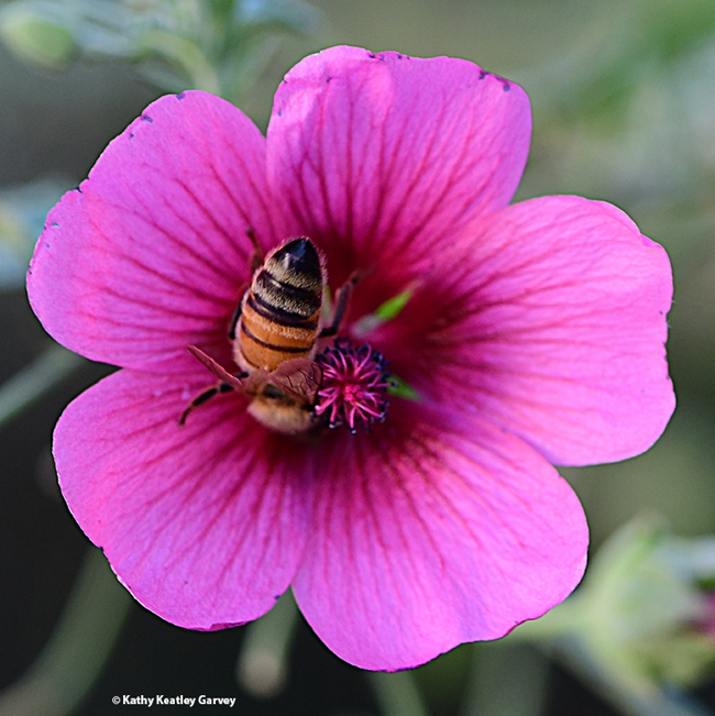 Is there anything more beautiful than a golden honey bee tucked inside the spectacular rosy pink blossom of Anisodontea sp. 'Strybing Beauty'? (Photo by Kathy Keatley Garvey)