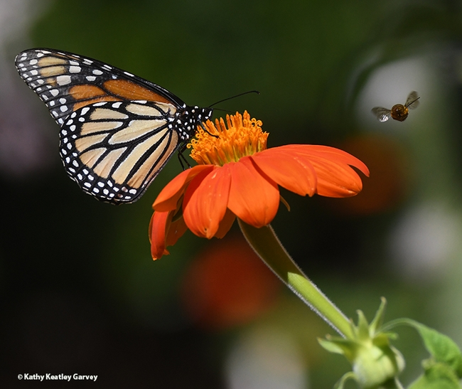 A territorial male bee, Melissodes agilis, targets a monarch nectaring on a Mexican sunflower, Tithonia rotundifola, in July 2020 in Vacaville, Calif. (Photo by Kathy Keatley Garvey)
