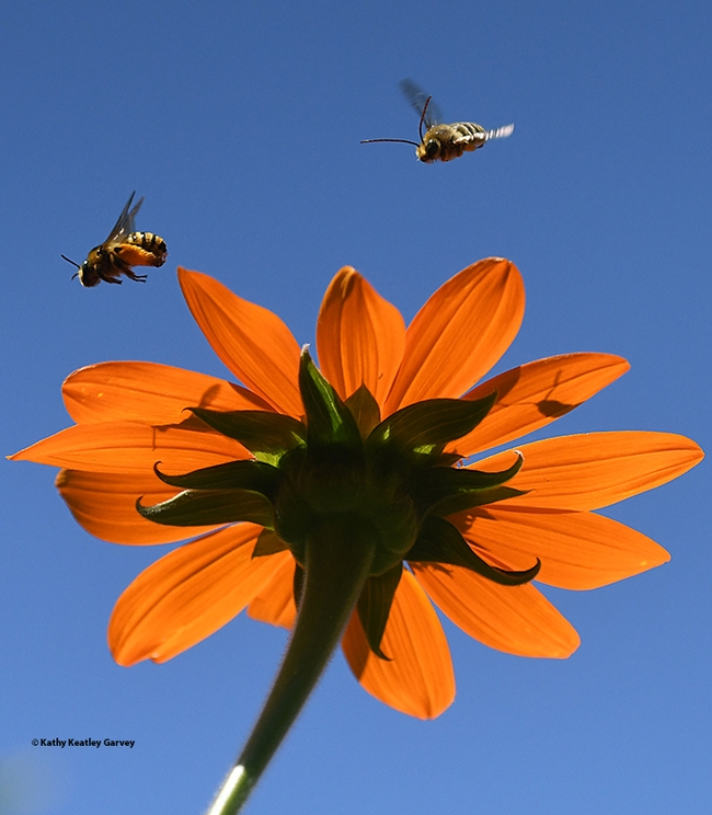 A male long-horned bee, Melissodes agilis, chases a female of the species over a Mexican sunflower, Tithonia rotundifola, in a Vacaville pollinator garden. (Photo by Kathy Keatley Garvey)
