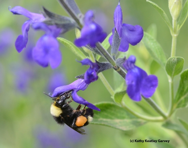 A black-faced bumble bee, Bombus californicus, foraging on purple ginny salvia. Salvias are popular at the UC Davis Arboretum nursery plant sales. (Photo by Kathy Keatley Garvey)