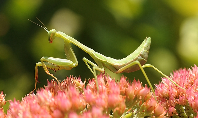 Portrait of a praying mantis. (Photo by Kathy Keatley Garvey)