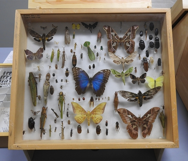 A display of insects collected by Bohart Museum scientists and associates on a bioblitz tour in Belize. (Photo by Kathy Keatley Garvey)