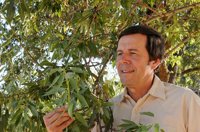 Frank Zalom, a former 16-year director of the UC Statewide Integrated Pest Management Program, examines an almond tree. (Photo by Kathy Keatley Garvey)