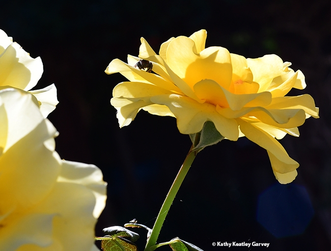 Look closely and you'll see a jumping spider huddled in the petals of this yellow rose. (Photo by Kathy Keatley Garvey)