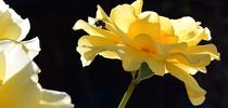 Look closely and you'll see a jumping spider huddled in the petals of this yellow rose. (Photo by Kathy Keatley Garvey) for Bug Squad Blog
