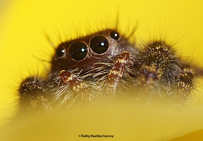 Close-up of the jumping spider. (Photo by Kathy Keatley Garvey)