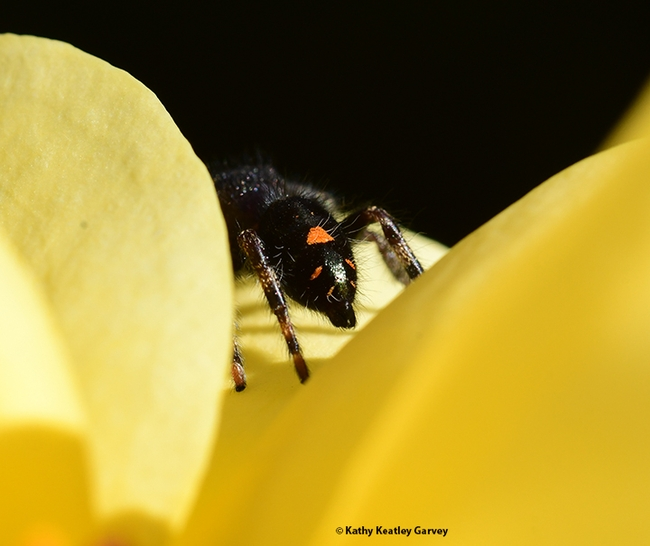 'Bye, bye! See ya later.' The jumping spider heads to another site. (Photo by Kathy Keatley Garvey)