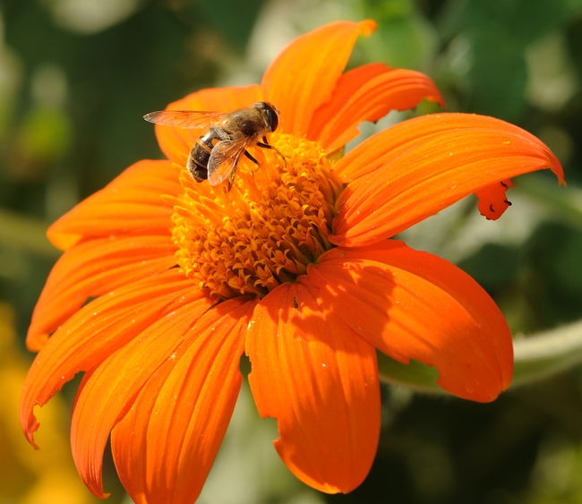 Drone fly visiting the Mexican sunflower. (Photo by Kathy Keatley Garvey)
