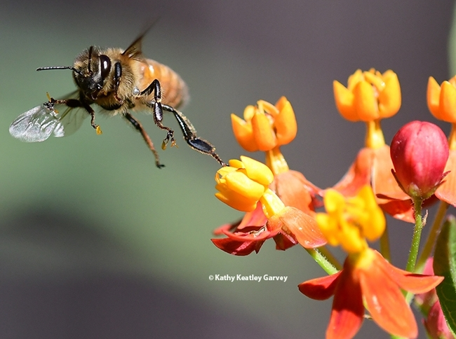 A honey bee frantically struggles to escape from a reproductive chamber of a milkweed blossom. (Photo by Kathy Keatley Garvey