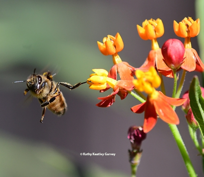 Right, left, up and down, the honey bee tries to free herself from the milkweed