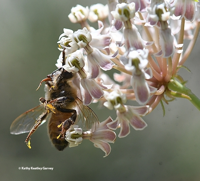 This honey bee couldn't free herself from the reproductive chamber of the milkweed. (Photo by Kathy Keatley Garvey