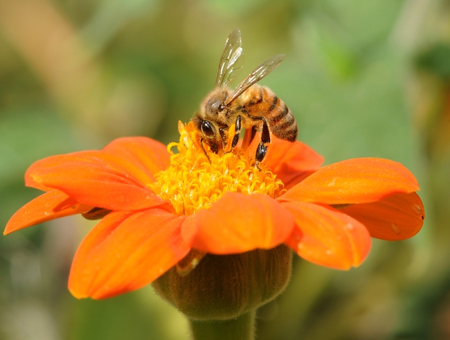 Honey bee nectaring a Mexican sunflower. (Photo by Kathy Keatley Garvey)
