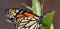 Monarch laying an egg in Vacaville on Oct. 9. (Photo by Kathy Keatley Garvey) for Bug Squad Blog