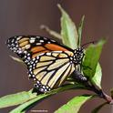 Monarch laying an egg in Vacaville on Oct. 9. (Photo by Kathy Keatley Garvey)