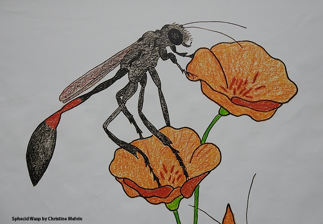 Close-up of a drawing of a sphecid wasp by Christine Melvin.