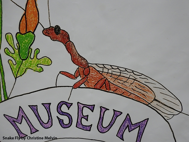 Close-up of a drawing of a snake fly by Christine Melvin.