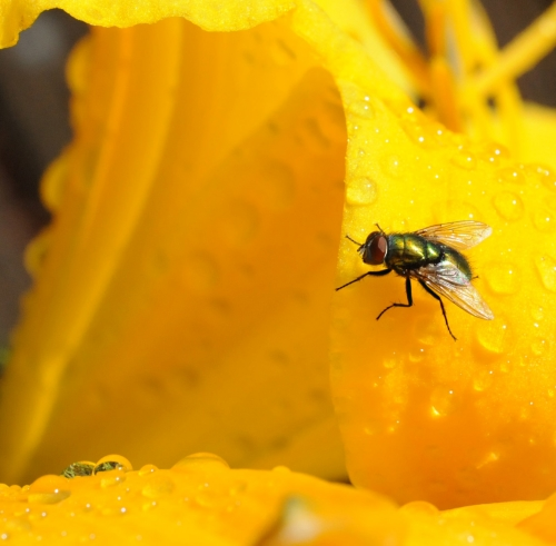 Blow fly on a daylily