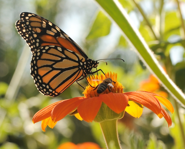 Two's company--a Monarch butterfly and a honey bee share nectar from the same flower.  (Photo by Kathy Keatley Garvey)