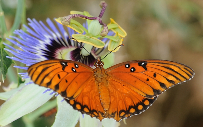 Gulf Fritillary butterfly on passion flower. (Photo by Kathy Keatley Garvey)