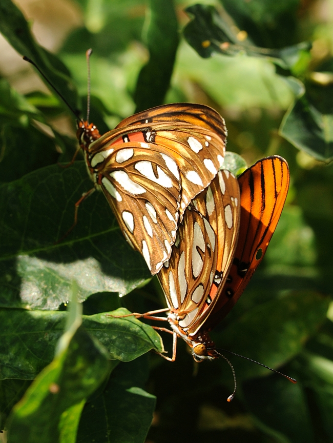 Gulf Frits breeding on passion flower vine. (Photo by Kathy Keatley Garvey)