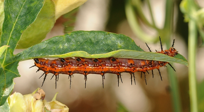 Hungry caterpillar munching passion flower leaves. (Photo by Kathy Keatley Garvey)