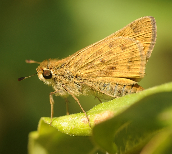 Close-up of Fiery Skipper (Hylephila phyleus). (Photo by Kathy Keatley Garvey)