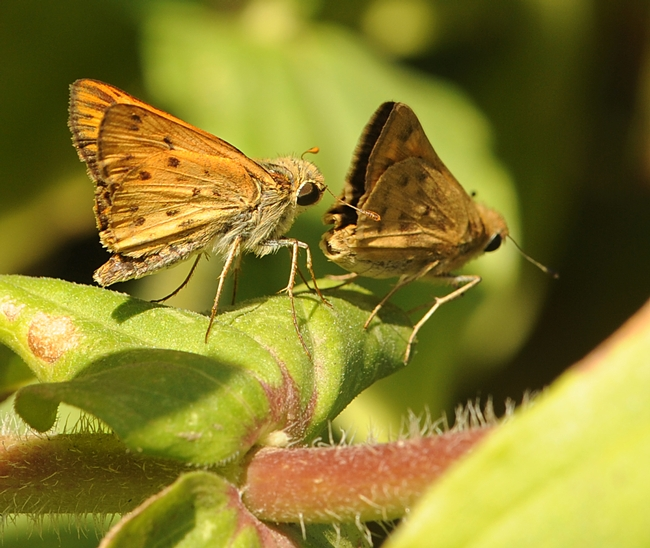 The male Fiery Skipper (Hylephila phyleus) often head-butts the female's genitalia during courtship, says noted butterfly expert Art Shapiro of UC Davis. (Photo by Kathy Keatley Garvey)