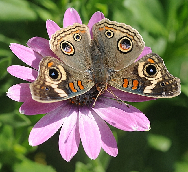 Buckeye spreads it wings on an African daisy. (Photo by Kathy Keatley Garvey)