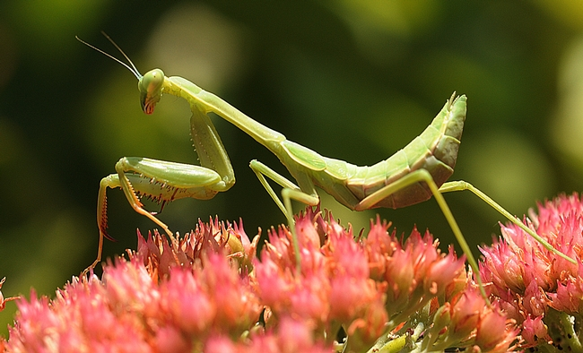 The predator? Could have been this praying mantis. (Photo by Kathy Keatley Garvey)