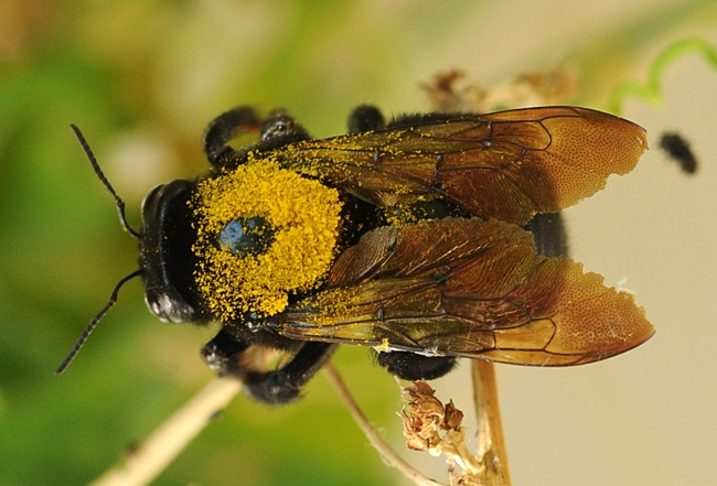 Female Valley carpenter bee, caught in flight, dusted with gold pollen. (Photo by Kathy Keatley Garvey)