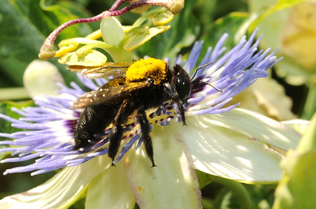 Female Valley carpenter bee visiting a passion flower. (Photo by Kathy Keatley Garvey)