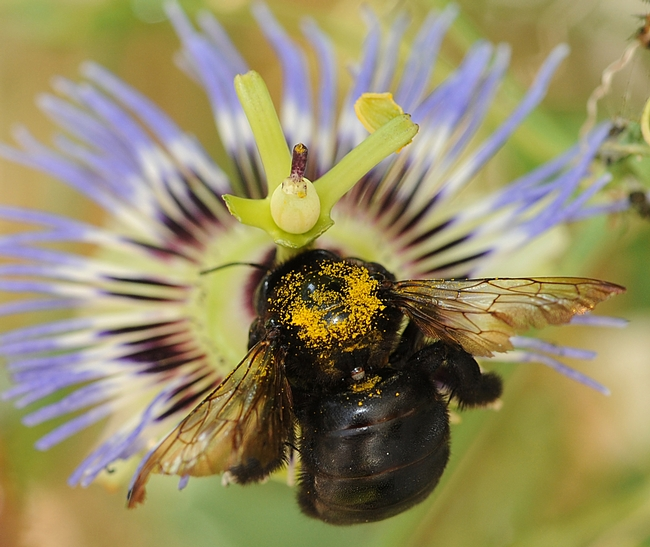 Gold alert! A female Valley carpenter bee heads toward a passion flower. (Photo by Kathy Keatley Garvey)