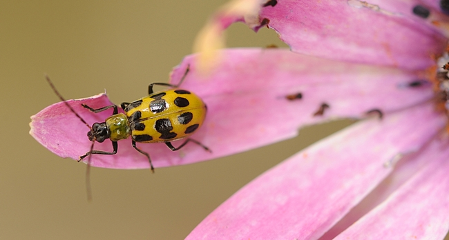 potted cucumber beetle senses danger and is about to fly. (Photo by Kathy Keatley Garvey)