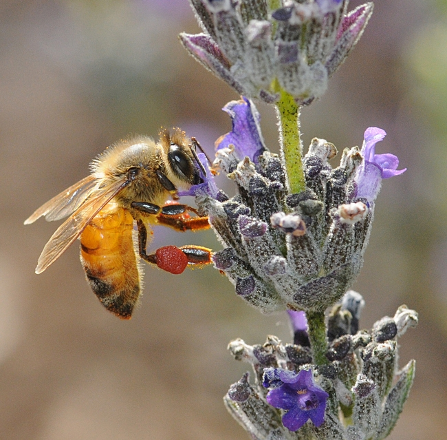 Honey bee, packing red pollen from a nearby rock purslane, nectaring lavender. (Photo by Kathy Keatley Garvey)
