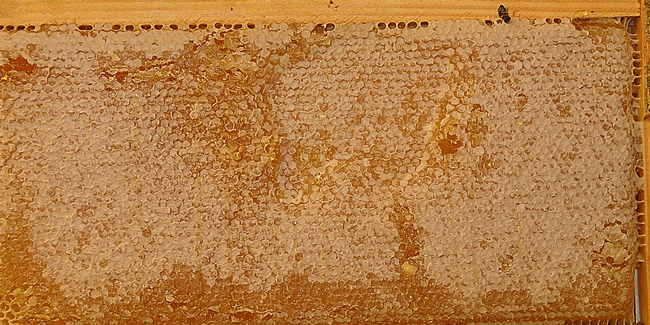 Close-up of frame of honey from the Laidlaw facility. (Photo by Kathy Keatley Garvey)